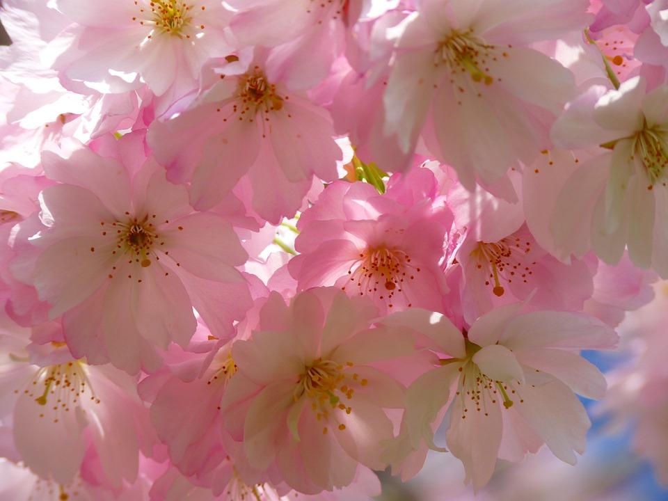 japanese-cherry-trees-6344_960_720