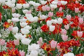 tulip-landscape-1405386__180